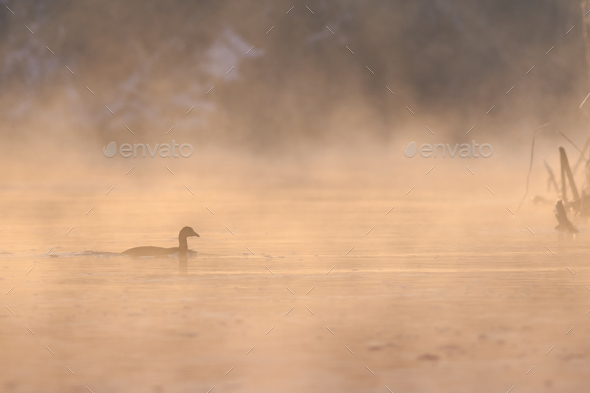 eurasian coot in sunrise - Stock Photo - Images