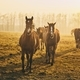 Herd of horses at sunset - PhotoDune Item for Sale