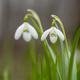 Snowdrop or common snowdrop (Galanthus nivalis) flowers - PhotoDune Item for Sale