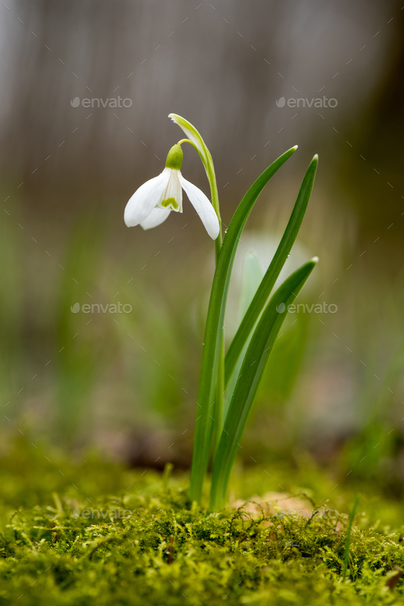 Snowdrop or common snowdrop (Galanthus nivalis) flowers - Stock Photo - Images