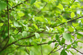 Green leaves in springtime. Shallow depth of field - PhotoDune Item for Sale