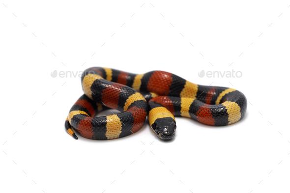 Red-black Milk snake isolated on white background - Stock Photo - Images