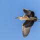grey heron in flight - PhotoDune Item for Sale