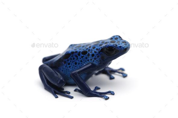 Poison dart frog isolated on white background - Stock Photo - Images