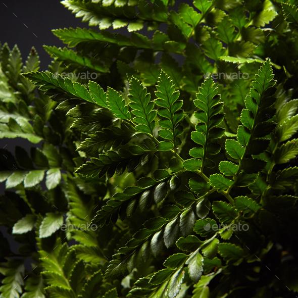 Closeup of fresh green bush ferns around dark background. Natural layout - Stock Photo - Images