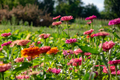 Pink delicate flowers of zinnia in the village garden against the background of trees on a summer - PhotoDune Item for Sale