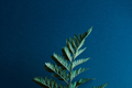 Back side of a fern with spores on a dark blue background with space for text. Natural layout. Flat - PhotoDune Item for Sale