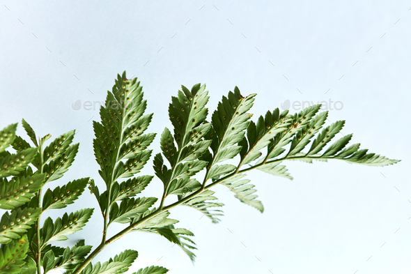 Closeup of a branch of fern on a gray background with copy space. Natural foliage layout. Flat lay - Stock Photo - Images
