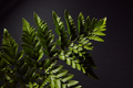 Closeup of a dark green branch of fresh ferns on a black background with copy space. Natural foliage - PhotoDune Item for Sale
