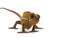 Chameleon isolated on white background - PhotoDune Item for Sale