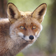 Fox head with geen background. Wildlife in the forest. Animal - PhotoDune Item for Sale