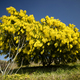 The yellow flower of Mimosa - PhotoDune Item for Sale