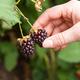Picking Soft Fruit Berries - PhotoDune Item for Sale