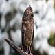 Eurasian (European) Scops Owl in Natural Forest Habitat - VideoHive Item for Sale