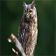 Eurasian (European) Scops Owl Sitting on a Branch - VideoHive Item for Sale