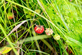 Strawberries ripe in the grass - PhotoDune Item for Sale