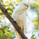 Sulphur-Crested Cockatoo Bird - PhotoDune Item for Sale