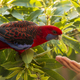 Crimson Rosella Wild - PhotoDune Item for Sale