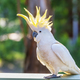 Yellow-Crested Cockatoo Bird - PhotoDune Item for Sale
