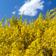 Wattle Tree Flowers - PhotoDune Item for Sale