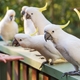 Flock Of Cockatoos - PhotoDune Item for Sale