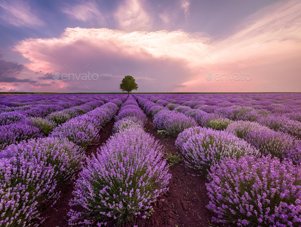 Landscape of lavender field and lonely tree - Stock Photo - Images