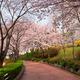 Blooming sakura cherry blossom alley in park - PhotoDune Item for Sale