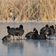 eurasian coot  in winter - PhotoDune Item for Sale