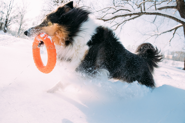 Funny Young Shetland Sheepdog, Sheltie, Collie Playing With Ring - Stock Photo - Images