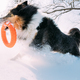 Funny Young Shetland Sheepdog, Sheltie, Collie Playing With Ring - PhotoDune Item for Sale