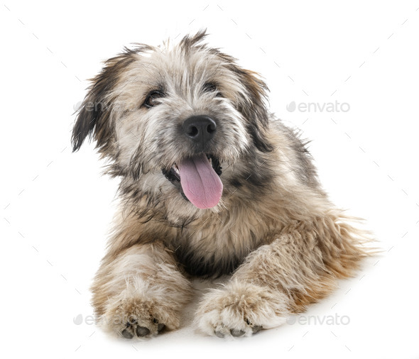puppy pyrenean shepherd - Stock Photo - Images