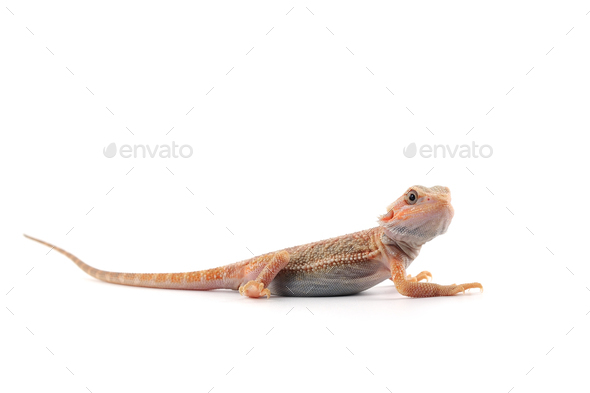 Bearded Dragon isolated on white background - Stock Photo - Images