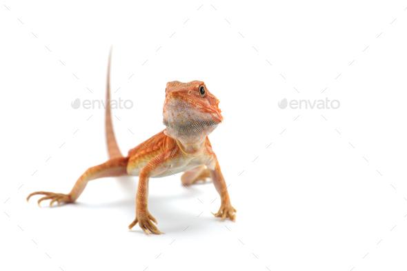 Bearded Dragon isolated on white background - Stock Photo - Images