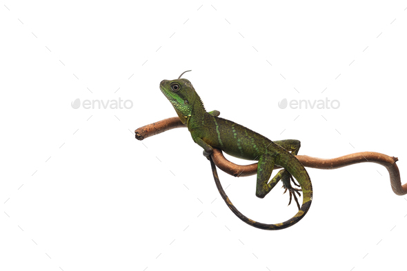 Chinese Water Dragon isolated on white background - Stock Photo - Images