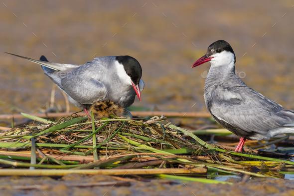 common tern (sterna hirundo) - Stock Photo - Images