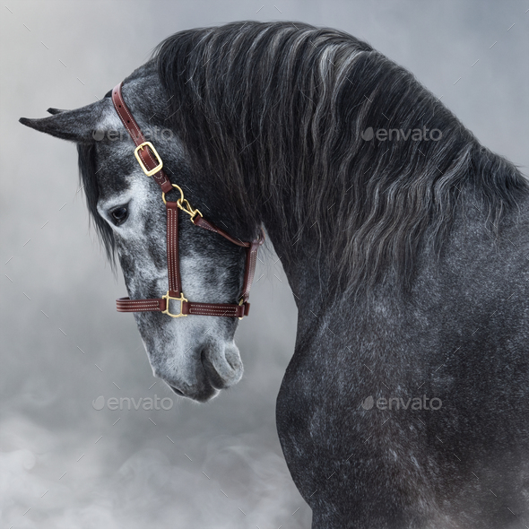 Portrait of gray Purebred Andalusian horse in smoke. - Stock Photo - Images