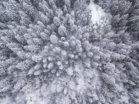 Aerial straight down view of snow covered trees in the Sierra Ne - Stock Photo - Images