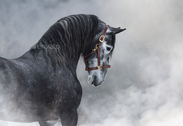 Portrait of gray Purebred Spanish horse in smoke. - Stock Photo - Images