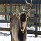 Deer on The Farm in Winter - VideoHive Item for Sale
