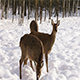 A Herd of Sika Deer in The Winter Forest - VideoHive Item for Sale