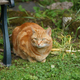 Domestic Ginger Tom Cat Relaxing in a Garden - PhotoDune Item for Sale