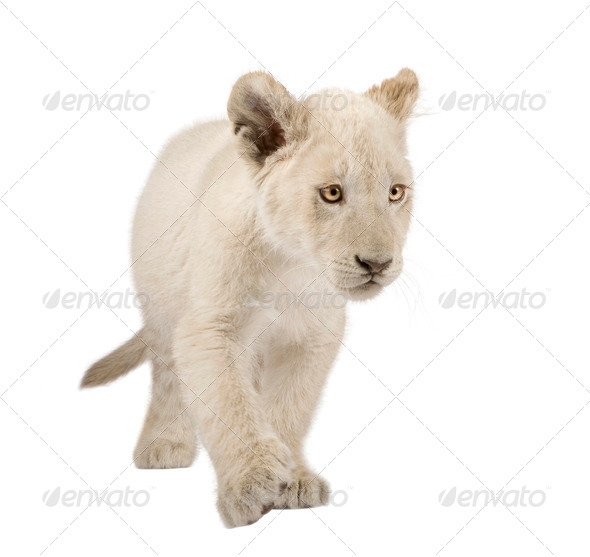 White Lion Cub (12 weeks) - Stock Photo - Images