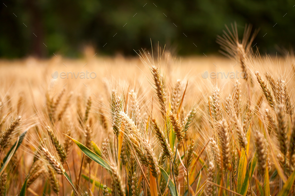 Agriculture Plant Spike Field in Nature - Stock Photo - Images