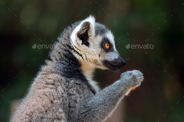 Close lemur portrait on dark background - Stock Photo - Images
