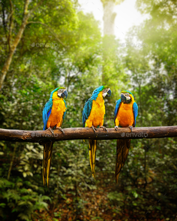 Blue-and-Yellow Macaw Ara ararauna in forest - Stock Photo - Images