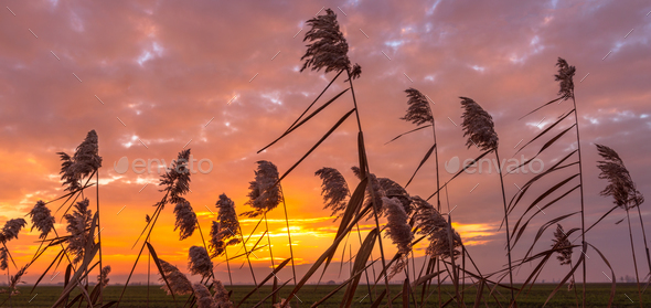 Sunset and canes - Stock Photo - Images