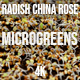 Microgreens Radish China Rose 1 - VideoHive Item for Sale