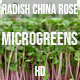 Microgreens Radish China Rose 3 - VideoHive Item for Sale