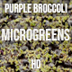Microgreens Purple Broccoli 1 - VideoHive Item for Sale
