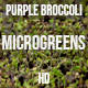 Microgreens Purple Broccoli 2 - VideoHive Item for Sale